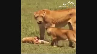 لحظه غم انگیزی که شیر ماده متوجه می شود بچه اش مرده است!