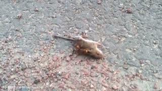 نبرد مرگ و زندگی موش با زنبور غول پیکر!