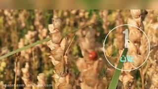 سم کشنده و تخصصی برای دفع ملخ از مزارع