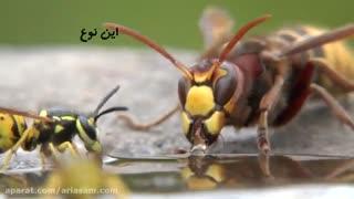 آنچه که در مورد زنبورها نمی دانید   سم زنبور کش تضمینی