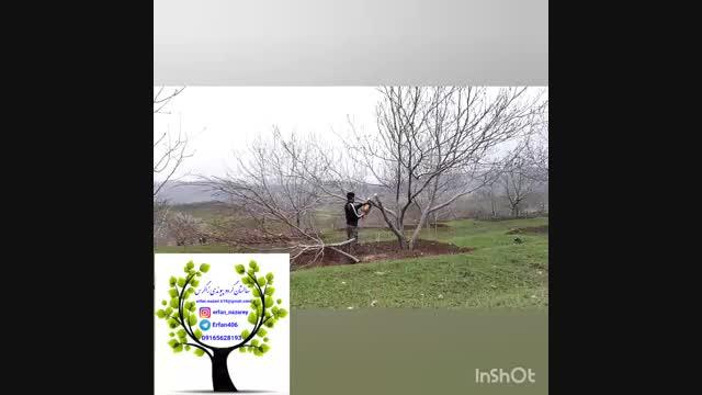 پیوند درخت گردو