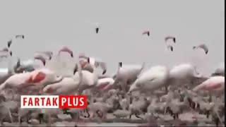 فیلمی زیبا از جوجهآوری فلامینگوها در شادگان